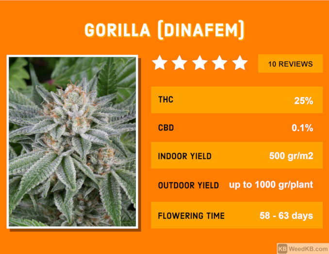 dinafem's gorilla glue strain review