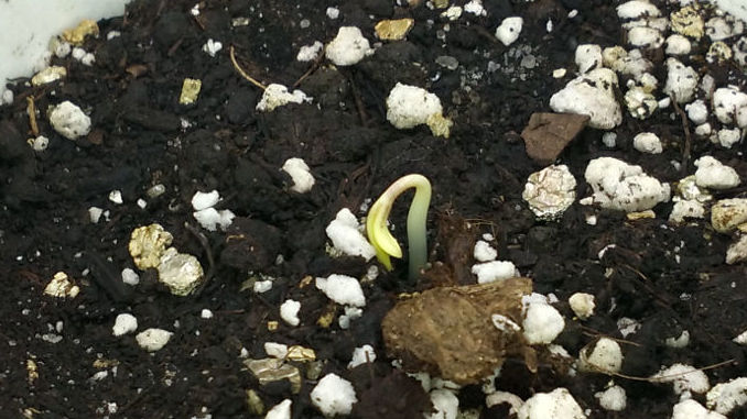 marijuana seedling day 1 yellow sprout cream caramel