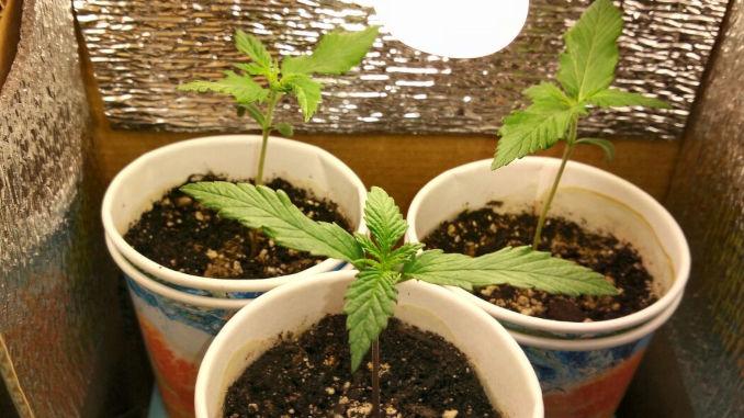 marijuana seedling wavy leaves