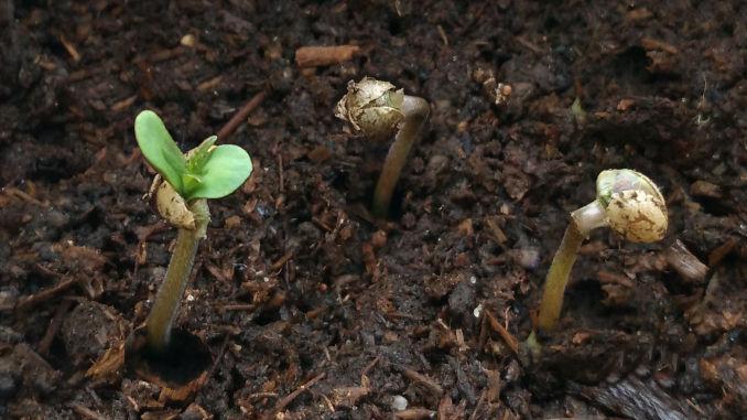 weed seedlings day 1