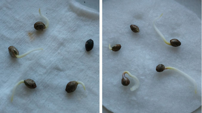 cannabis seeds germination between cotton disks or paper towels