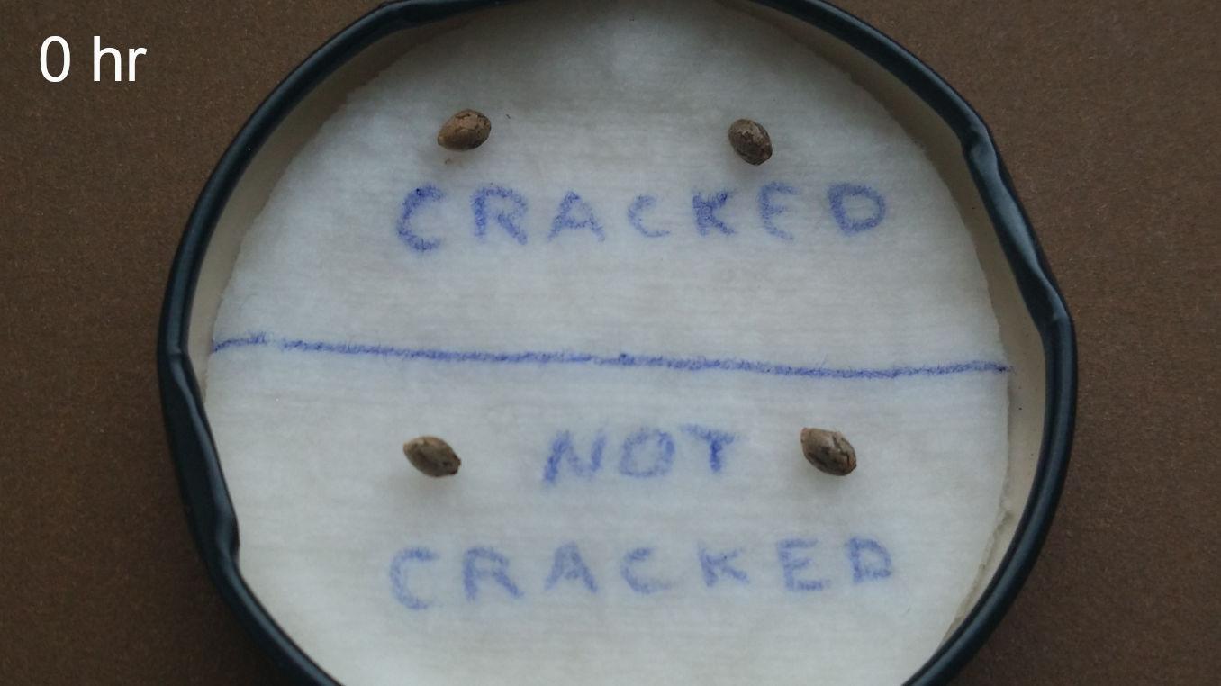 marijuana seeds cracked 0 hours
