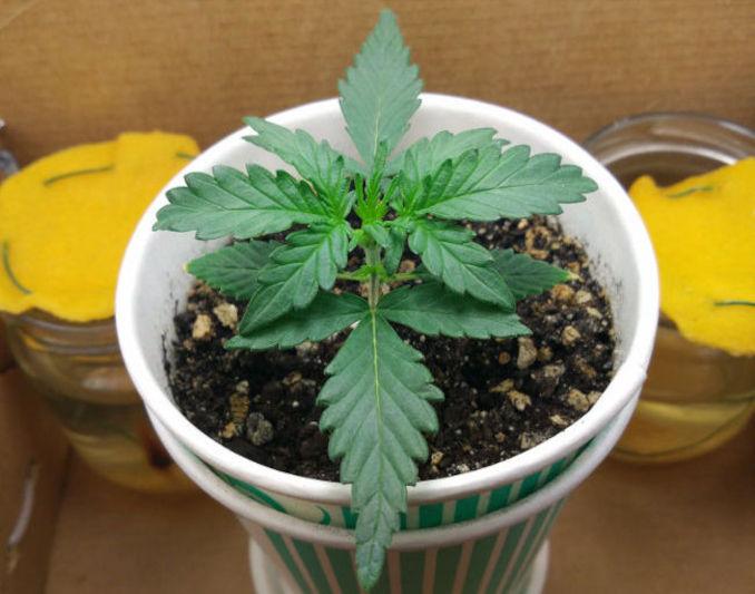 transplanting autoflower seedlings
