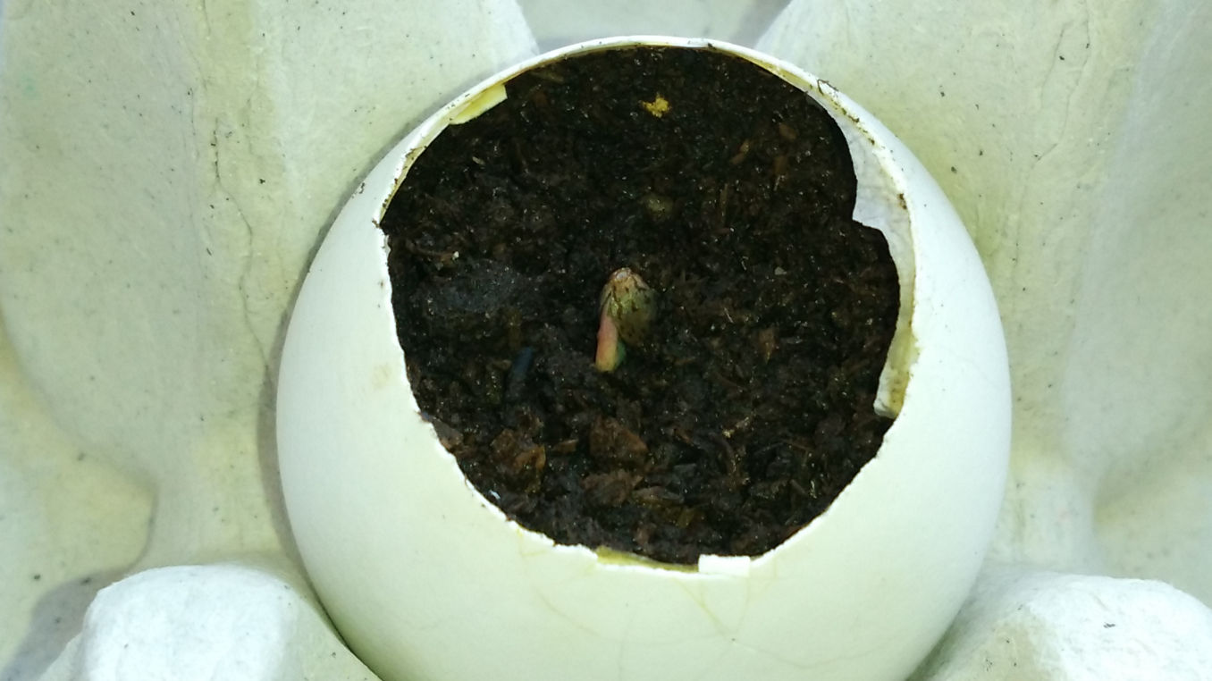 eggshells cannabis plant; day 1