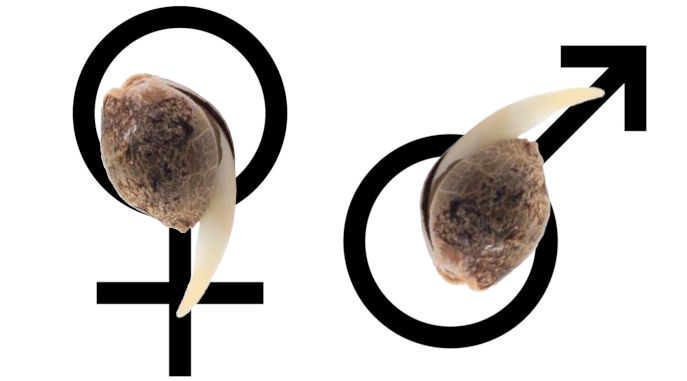 feminized seeds pros and cons