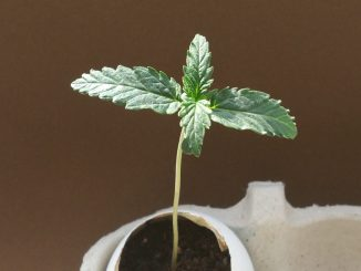 growing cannabis in eggshells; day 7