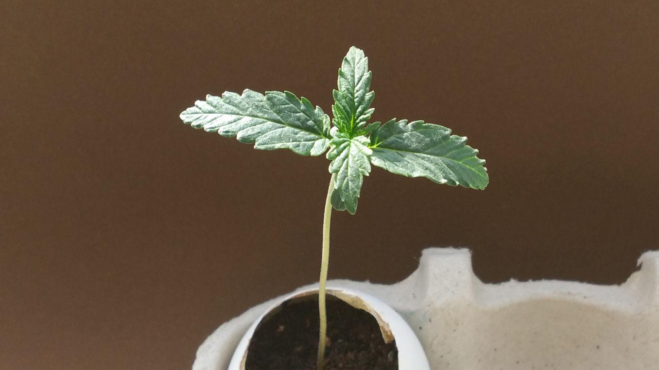 growing cannabis in eggshells; day 7