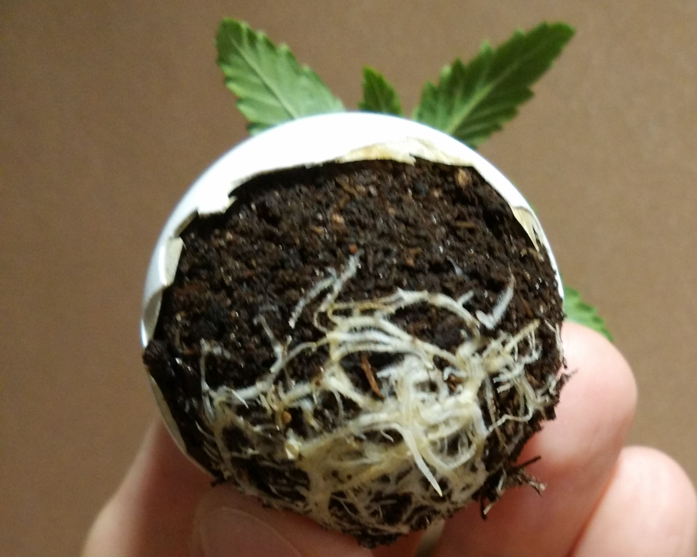 eggshells for marijuana is a source of calcium