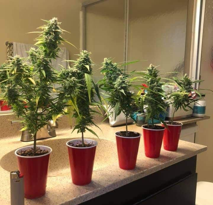 12/12 from seed to harvest black widow clones