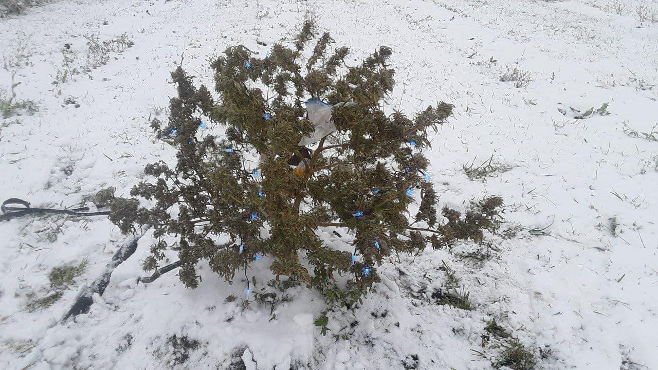 snow marijuana