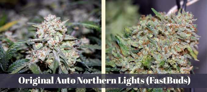 Original Auto Northern Lights Fastbuds
