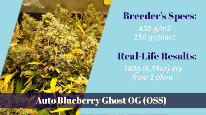 Auto Blueberry Ghost OG Original Sensible Seeds