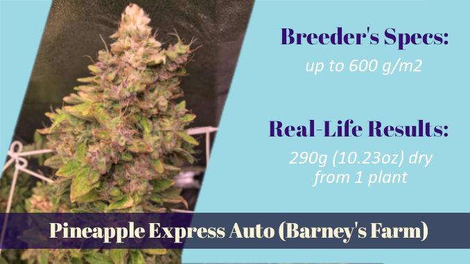 Pineapple Express Auto Barney's Farm