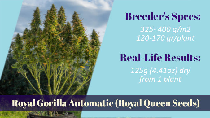Royal Gorilla Automatic Royal Queen Seeds xxl yield outdoors