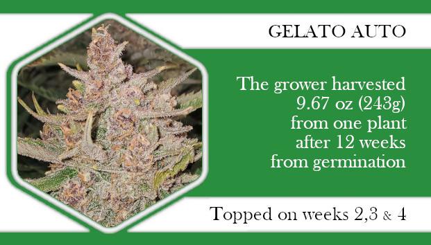 autoflowers topping Gelato