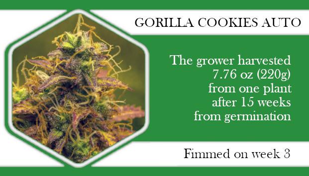 Gorilla Cookies autoflower fimming