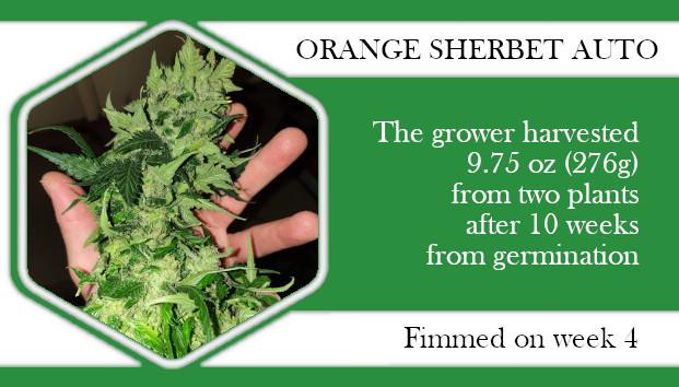 Orange Sherbet autoflower topping