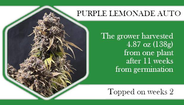Purple Lemonade autoflowering topping