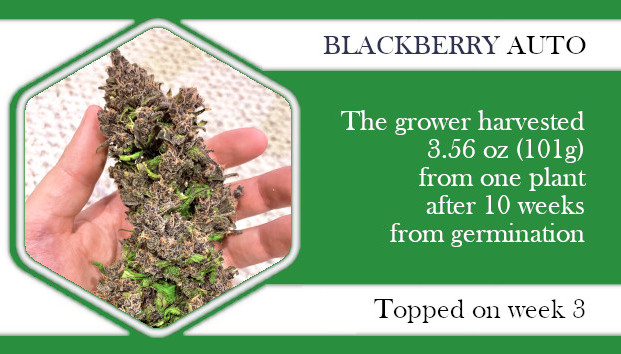 topping a autoflower Blackberry