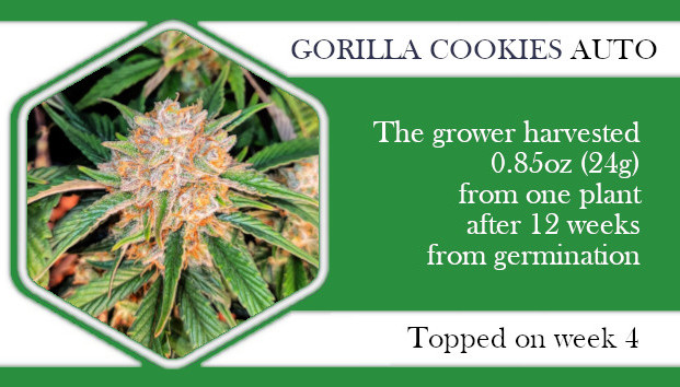 accidental topping of gorilla cookies autoflower