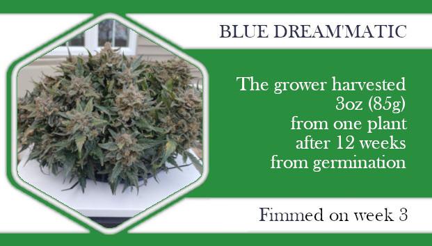 fimming Blue Dream'Matic