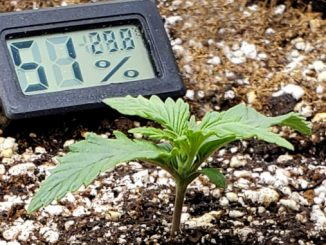 Autoflower Temp and Humidity: A seedling in a container and a thermohygrometer