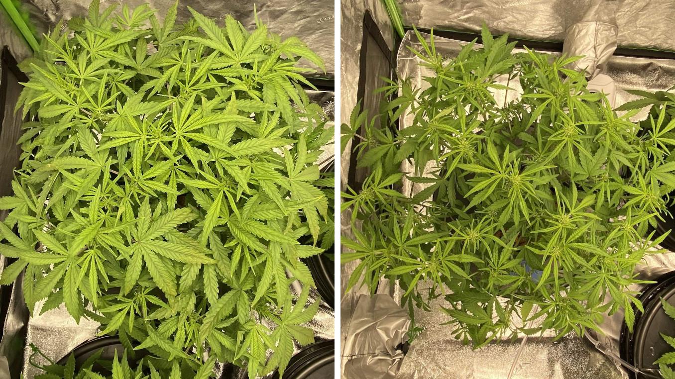 how to defoliate autoflower in veg in week 6