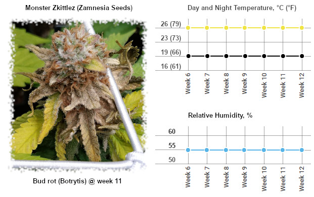 Monster Zkittlez affected by bud rot (botrytis) at week 11 and the temp and humidity chart for the flowering stage