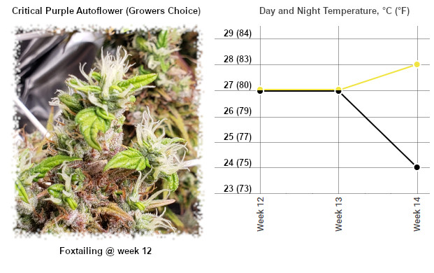Critical Purple Autoflower with foxtailing buds at week 12 and the day and night temperature chart for late flower