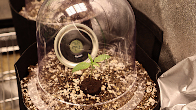 a weed seedling under a humidity dome for humidity control