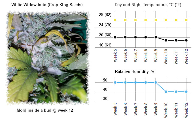 mold in fat and solid autoflower bud