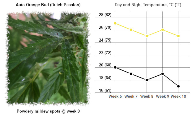 powdery mildew spots due to cool nights and 100% humidity
