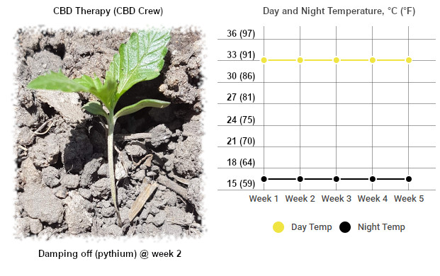 seedling fell over because of pythium (damping off) duw to temperature stress