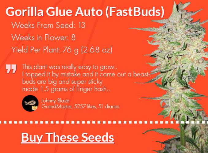 Gorilla Glue Autoflower strain card