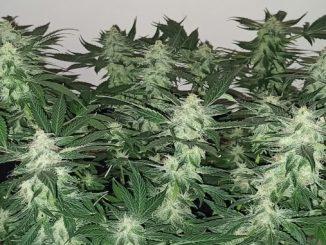 Gorilla Glue Autoflower Grow Journal: 13 Trouble-Free Weeks