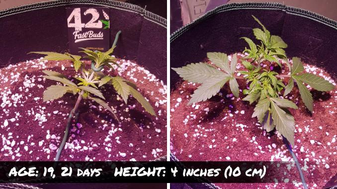 Autoflower Gorilla Glue, 19 & 21 days, 4 inches