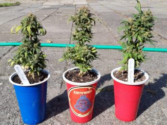 Autoflower Clones: Three small autoflowering plants in solo cups ready for harvest